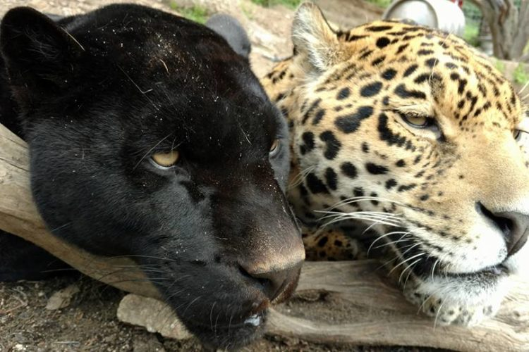 melanistic (black) jaguar and sibling with normal coloring